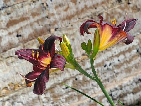 day lily: Dark red day lily bush on wall background