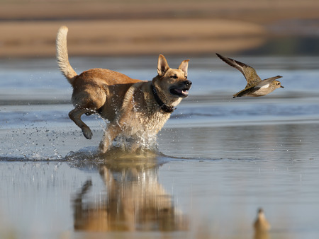 Hunting dog running for rise golden plover photo