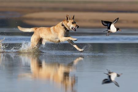 dog running: Running dog hunting on oystercatcher
