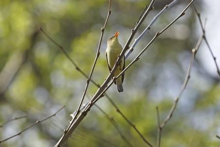 ruise�or: Nightingale canta canci�n de amor de primavera