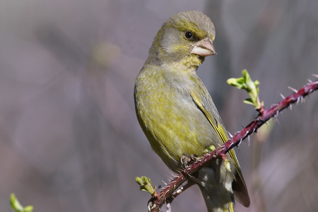 spring leaf: Green finch looks at first blossoming spring leaf on branch