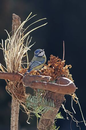 blue tit: Blue tit sitting on feature nest