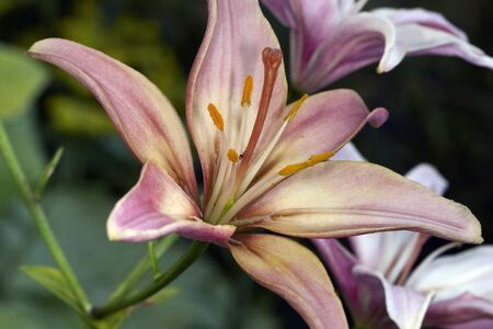 pale color: Variety pale color lily blossom close up