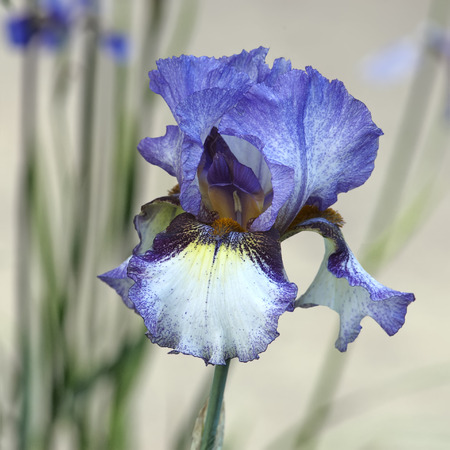 bearded iris: Beautiful multicolor bearded iris blossom