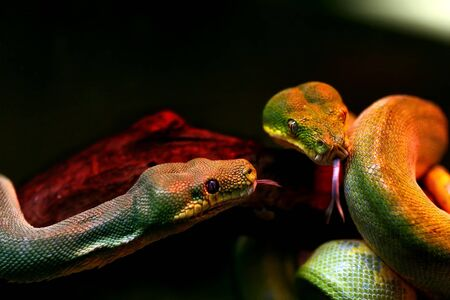 boas: Two boas meeting on branch
