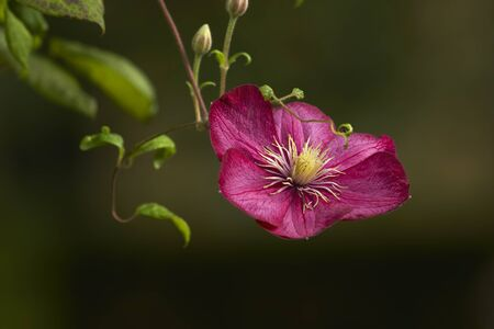 clematis flower: Red clematis flower bud blossom Stock Photo