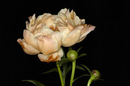 cream color: beautiful cream color peony bud on dark background Stock Photo