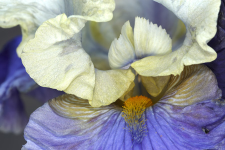 summer flower: Multicolor bearded iris flower bud closeup