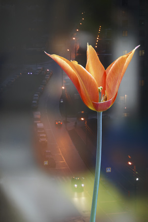carroty: Carroty color tulip flower on background of night city from window