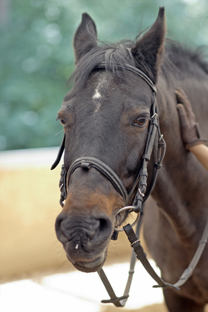 caress: Horse head with harness and caressing hand Stock Photo