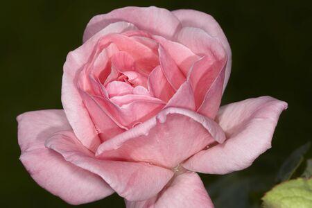 Pale pink rose bud with rain drops closeup