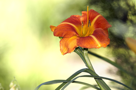 day lily: Day lily blossom on nice background Stock Photo