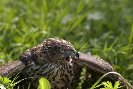 goshawk: Young goshawk hided hunting game Stock Photo