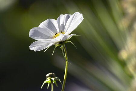 Cosmos flower bud