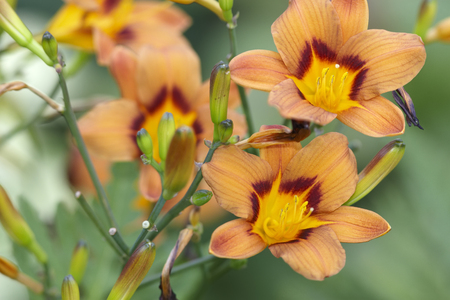 day lily: Day lily branch