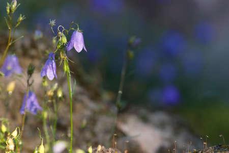 bluebell: Wild bluebell flowers in habitat Stock Photo