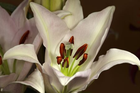 Lilies flower buds Stock Photo