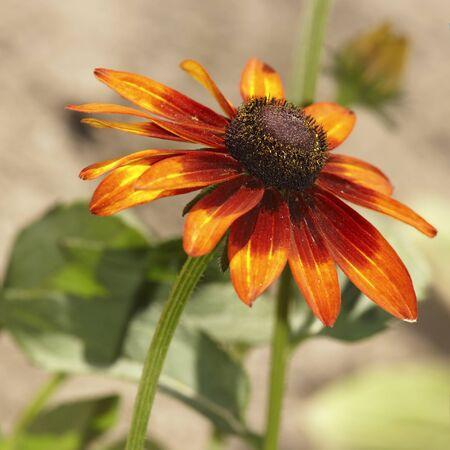 Red rudbeckia (daisy) flower bud