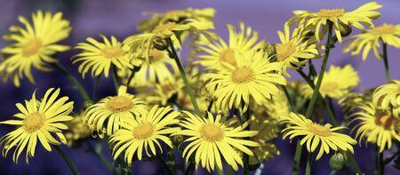 jardines con flores: tarimas amarillas prado Foto de archivo