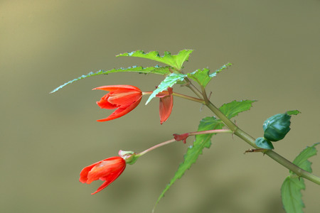 a rare: Two rare red flowers on branch