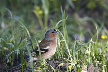 chaffinch: Chaffinch male singing in grass