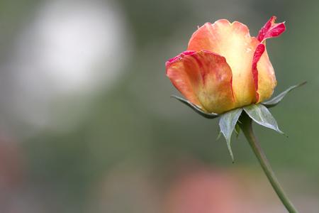 Rose flower - bud on stem