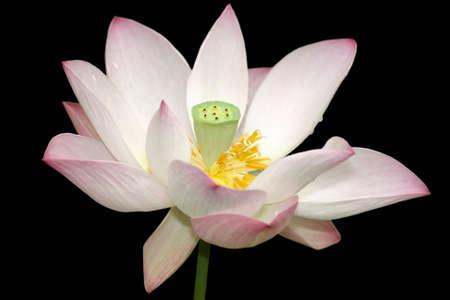 Mooie lotusbloemknop op zwarte close-up