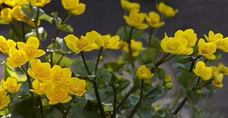 buttercup: buttercup swamp bush with blossoming buds