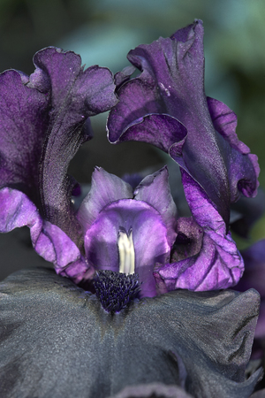 bearded iris: Deep purple bearded iris flower closeup Stock Photo