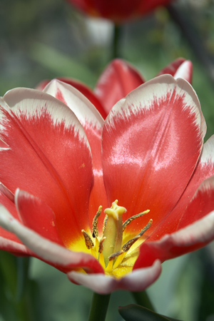 Scarlet opened bud of tulip closeup