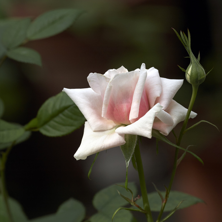 Pale pink rose on branch