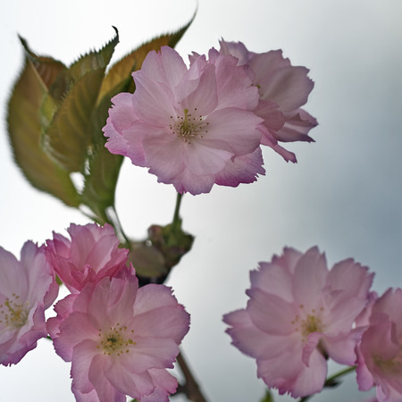 Pink flowers on fruit tree branch Stock Photo