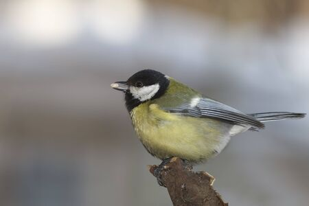 Great tit with seed in beak closeup Stock Photo
