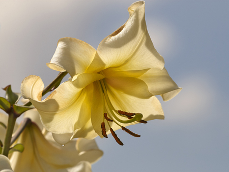 Yellow pale lily blossom on sky background closeup Stock Photo