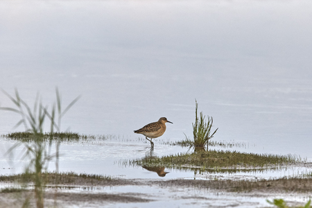 Young ruff in search of clams on shallow