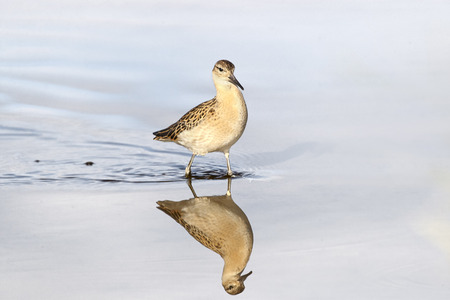Ruff with reflection posing on shallow