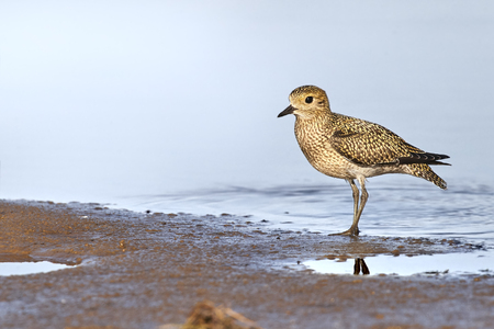Golden plover standing on the edge of the shore Stock Photo