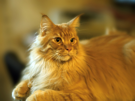 opinions: Maincoon cat breed closeup
