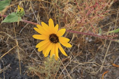 Sunflower in the Sage