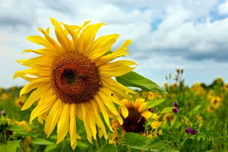 Field of sunflowers Stock Photo - 8109491