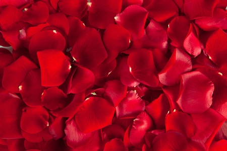 Red petals rose background photo