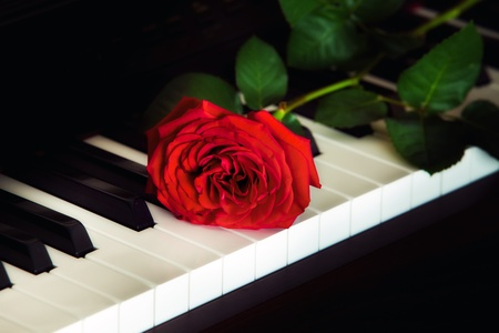 Red rose on the top of grand piano keys photo
