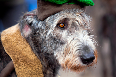 breeds: Irish Wolfhound is a giant-sized dog, one of the tallest breeds in the world