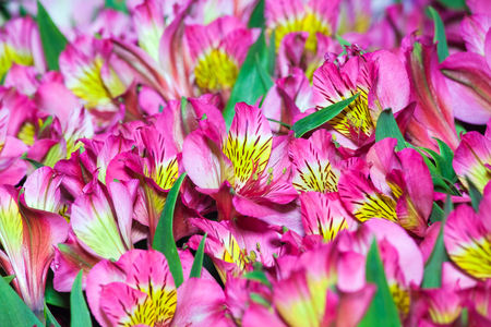Alstroemeria flowers background, peruvian lily of different colors Stock Photo