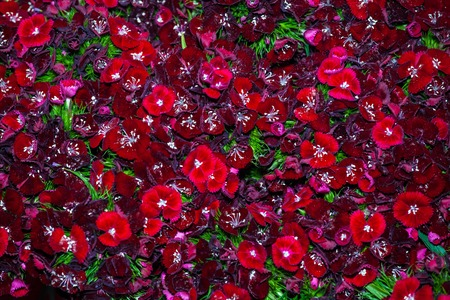 ornamental garden: Dianthus barbatus flowers background of black cherry color, ornamental garden plant Stock Photo