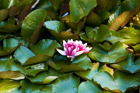 waterlillies: Waterlily in garden pond
