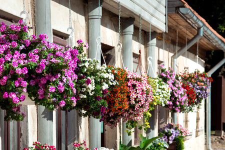 Petunia flowers in pots on the wall. Flowering plants, house decorating