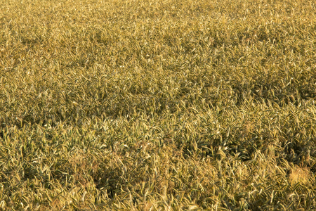 secale: Field of gold rye, cereals background Stock Photo