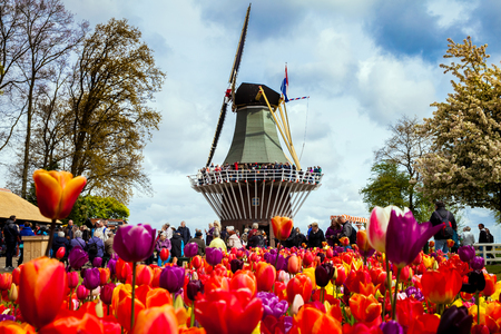 Decorative windmill in Keukenhof park. Tourists walking in blossom colorful tulip field