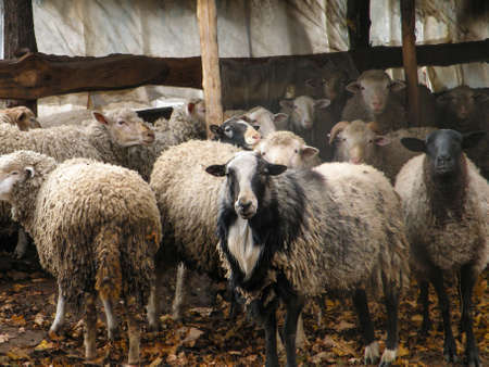 Portrait of sheep in flock. Portrait of cute sheep in herd looking at camera